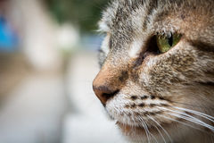 Close up to a head of the cat with green eye.  stock photos