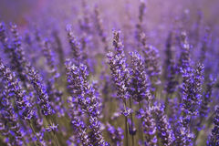 Close up to lavender flowers. Purple meadow with lavender flowers blooming in springtime in La Alcarria, Spain Royalty Free Stock Images