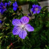 Flower. Close up to a nice violet blueish flower showing details of its petals Royalty Free Stock Photos