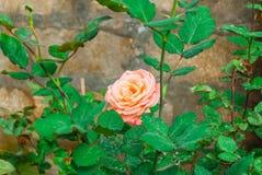 Close-up to Orange Pink Rose.  stock photography