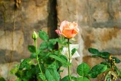 Close-up to Orange Pink Rose.  stock photo