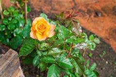 Close-up to Orange Rose.  royalty free stock image