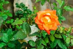 Close-up to Orange Rose.  stock photos