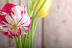 Close up to red tulips, close up flowers Stock Images