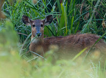 Close-up to the Sitatunga Stock Images