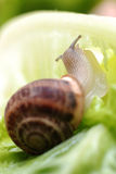 Close up to snail on green background Stock Images