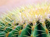 Cactus species Echinocactus grusonii, golden barrel cactus. Close-up to texture of the golden barrel cactus, Echinocactus grusonii royalty free stock photos