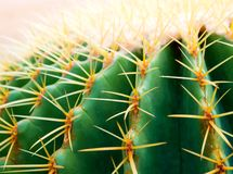 Cactus species Echinocactus grusonii, golden barrel cactus. Close-up to texture of the golden barrel cactus, Echinocactus grusonii royalty free stock images