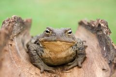Close up to  toad on green background. Close up  to  european common toad (bufo bufo)  on  bark against  background of green Stock Photo