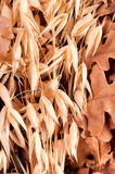 Close up to wheat Royalty Free Stock Image