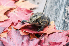 Close Up of a Toad Amongst Fall Leaves Royalty Free Stock Photos