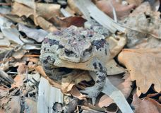 Toad Bufo gargarizans 40 Royalty Free Stock Image
