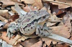 Toad Bufo gargarizans 41 Stock Photography