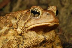 Close Up Of Toad Eye Profile Stock Photography