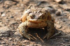 Close up of a toad or frog Royalty Free Stock Images