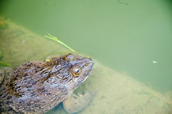Close up of a toad in the pond Stock Photography