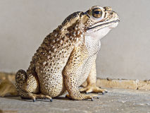 Close-up of Toad Stock Photo