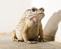 Close-up of Toad Royalty Free Stock Images
