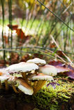Close up of toadstools growing on the woodland floor Royalty Free Stock Photography