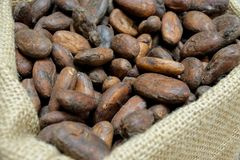 Close up of toasted cacao beans. At a chocolate workshop stock photography