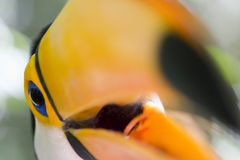 Close-up of a toco toucan Stock Images