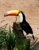 Close-up of the toco toucan Ramphastos toco.Brazil. Iguazu stock image