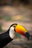 Close-up of toco toucan staring at camera Stock Image