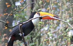 Toco toucan, Ramphastos toco. Close up toco toucan in tree royalty free stock images