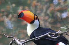 Toco toucan, Ramphastos toco royalty free stock photo