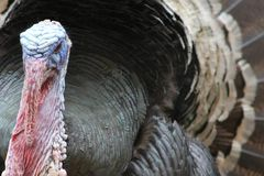 Tom Turkey- close up. Close up of a tom turkey showing his wattles and tail feathers spread Royalty Free Stock Images
