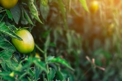 Tomato green graden. Close up tomato green graden royalty free stock image