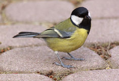 Close up of tomtit Stock Photography