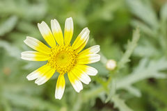 Close up tong hao flower . Royalty Free Stock Images