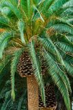 Giant Palm Trees. Close up of the top of a giant palm tree sprouting bright green branches stock photography
