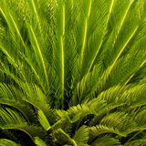 Close-up the top of a palm tree Royalty Free Stock Image