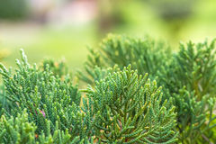 Close up of the top of A pine tree Stock Image