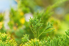 Close up of the top of A pine tree in natural light Royalty Free Stock Photos
