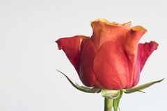 Close up red rose bud against white background, space for text royalty free stock images