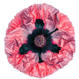 Close up of top view of big poppy flower Royalty Free Stock Image