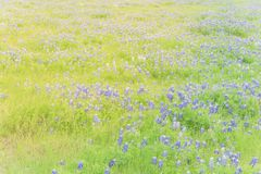Close-up top view Bluebonnet blanket in Ennis, Texas, USA at spr. Beautiful Texas Bluebonnet field in the springtime. Top view a bright colorful blanket of Texas Stock Images