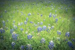 Close-up top view Bluebonnet blanket in Ennis, Texas, USA at spr. Beautiful Texas Bluebonnet field in the springtime. Top view a bright colorful blanket of Texas Stock Image