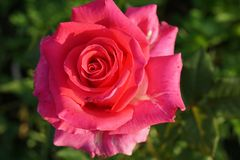 Close up top view of a bright pink roses inflorescences Caucasia. Close-up view of the top of a large bright pink inflorescences varieties Caucasian roses on a Royalty Free Stock Photo