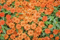 Top view colorful ornamental flowers blooming in garden , zinnia violacea huge group nature background royalty free stock photo