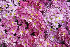 Top view colorful pink and white chrysanthemums flowers blooming with yellow pollen patterns for texture or background, royalty free stock photography