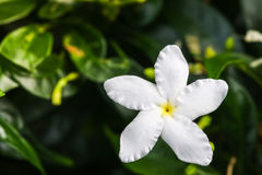 Close up top view of Ervatamia or Gardenia white flowers is blossom in the garden, it have 5 lobe. royalty free stock image