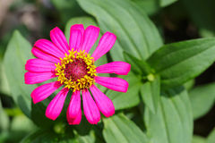 Close up top view of pink Zinnia flower Royalty Free Stock Photo