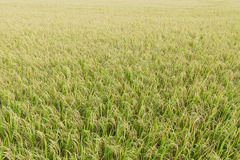 Close up top view rice fields Stock Photo