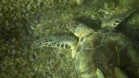 Swiming with turtle. Close up top view, sea turtle eat sea grass in sun light stock video