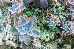 Close up top view of variety Succulent plants arrangement with d. Ecorative ornaments on a grunge rock stone. Beautiful nature wallpaper background royalty free stock image