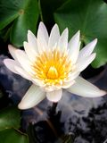 Close up top view white lotus flower is blooming and outstanding in pond. Close up top view white lotus flower is blooming and outstanding in pond, lotus leaf Royalty Free Stock Photography